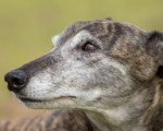 greyhound injuries blog 3