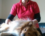 Canine massage sheltie