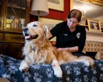 Golden Retriever massage Jenny Youdan